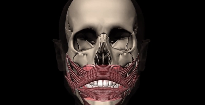 3D Visualization of Head and Mouth Muscle Anatomy